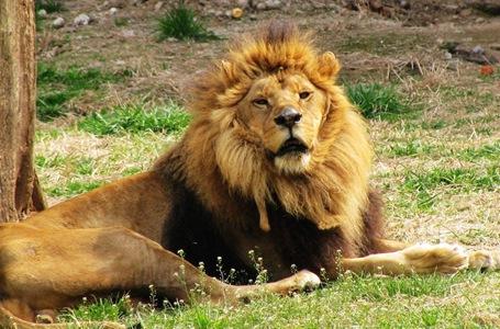 湖北:非洲雄狮长肿瘤 医护现场动手术