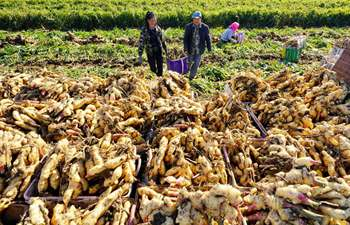 Farmers harvest ginger in China's Hebei