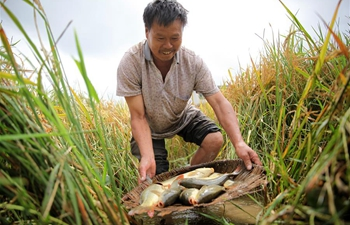 People busy harvesting rice and fish in paddy fields in Guizhou, SW China